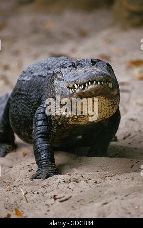 AMERICAN ALLIGATOR alligator mississipiensis, ADULT - Stock Photo