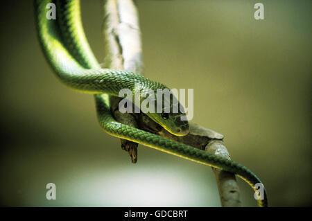 GREEN MAMBA dendroaspis angusticeps, ADULT, TANZANIA - Stock Photo