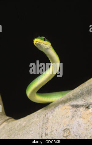 Green Snake, opheodrys major against Black Background - Stock Photo