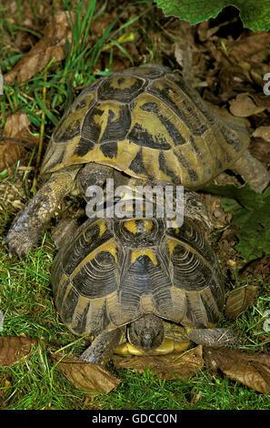 Hermann's Tortoise, testudo hermanni, Adults - Stock Photo