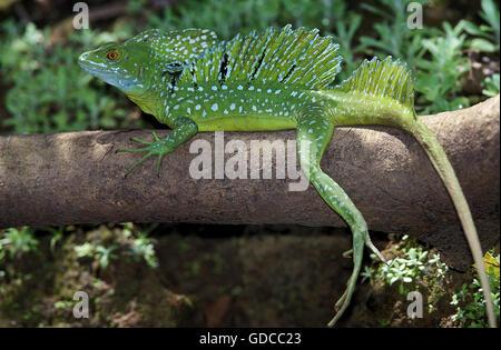 GREEN BASILISK LIZARD OR DOUBLE-CRESTED BASILISK LIZARD basiliscus plumifrons, ADULT ON BRANCH, COSTA RICA - Stock Photo