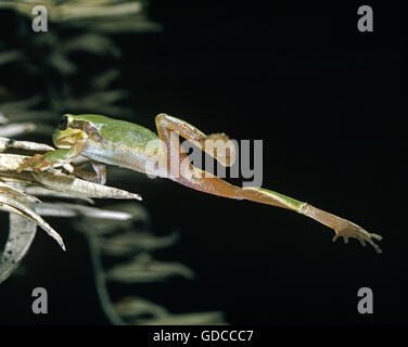 European Tree Frog, hyla arborea, Adult Leaping - Stock Photo