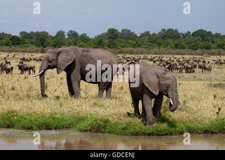 African Elephants (Loxodonta africana), Masai Mara, Kenya, Africa - Stock Photo