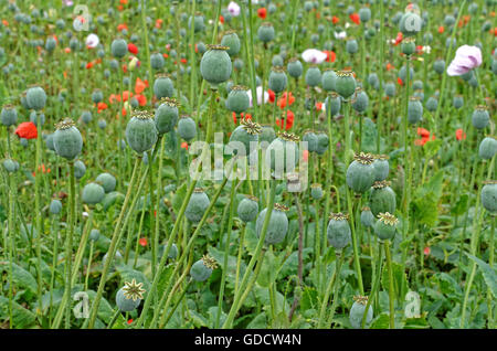 field of Papaver Somniferum  poppies grown for medicinal purposes - Stock Photo