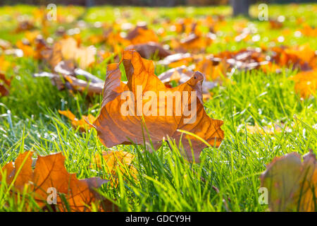 Dry maple leaf lying on green grass in the sun - Stock Photo