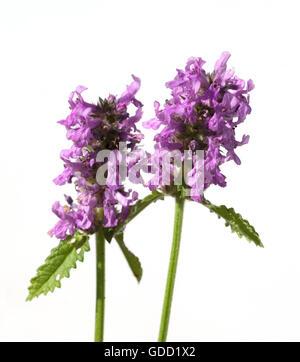 Ziest; Stachys; officinalis; Echter; Heilziest; Betonie - Stock Photo