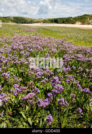 Sea Lavender LImonium vulgare growing on coastal salt marsh at Three Cliff Bay on the Gower peninsula in South Wales - Stock Photo