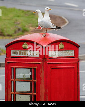 Two herring gulls on the roof of a red K6 telephone kiosk in Bristol UK - Stock Photo