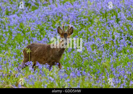 Roe deer in bluebells, Dumfries & Galloway, Scotland - Stock Photo