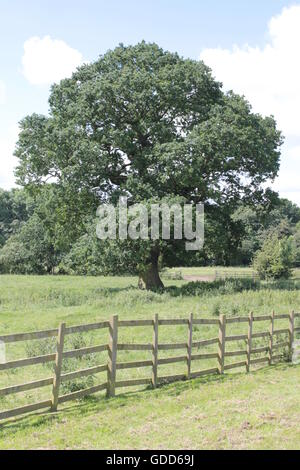 Big oak trees on skyline of Bosworth fields - Stock Photo