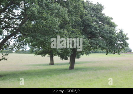Trees on Bosworth fields - Stock Photo