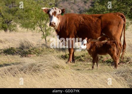 Cattle graze on open range, Coronado National Forest, Santa Rita Mountains, Sonoita, Arizona, USA. - Stock Photo