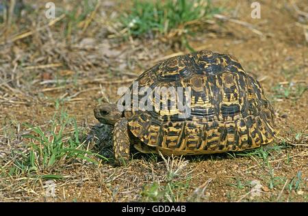 Leopard Tortoise, geochelone pardalis, Kenya - Stock Photo
