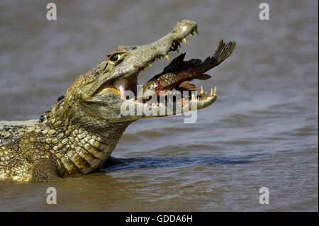 SPECTACLED CAIMAN caiman crocodilus, ADULT CATCHING FISH, LOS LIANOS IN VENEZUELA - Stock Photo