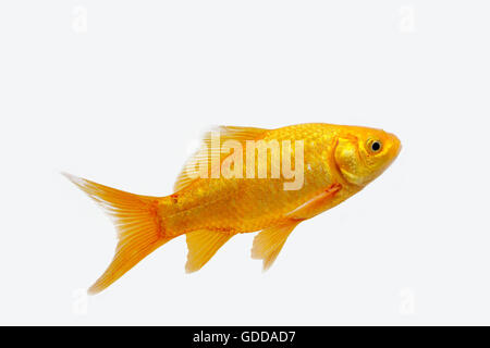 Goldfish, carassius auratus, Adult Against White Background - Stock Photo