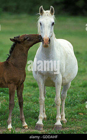 Lipizzan Horse, Mare with Foal - Stock Photo
