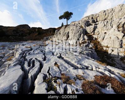 pine in karst - Stock Photo