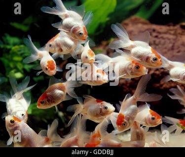 Young Oranda Goldfish, carassius auratus, Aquarium Fishes - Stock Photo