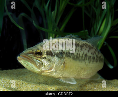 Large Mouth Bass or Black Bass, micropterus salmoides - Stock Photo