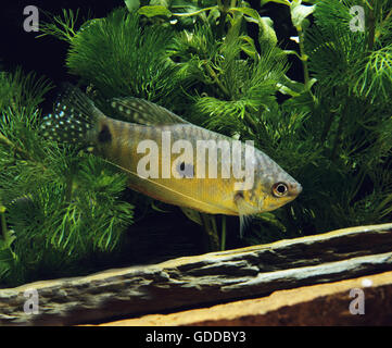 Gourami Fish, trichogaster trichopterus - Stock Photo