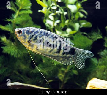 Blue Cosby Gourami, trichogaster trichopterus - Stock Photo