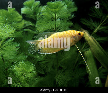 Gold Gourami, trichogaster trichopterus - Stock Photo