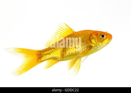GOLDFISH carassius auratus AGAINST WHITE BACKGROUND - Stock Photo
