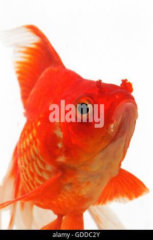 Ryukin Goldfish, carassius auratus, Adult Against White Background - Stock Photo
