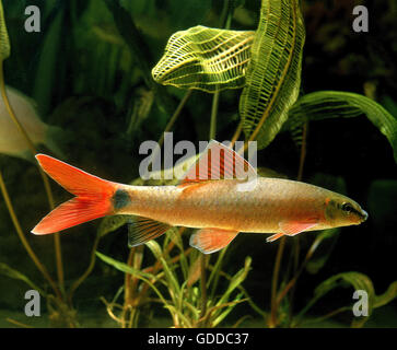 Ruby Shark or Rainbow Shark, epalzeorhynchos frenatus - Stock Photo