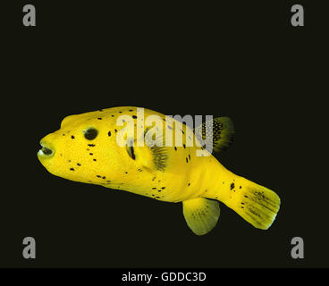 Black Spotted Puffer, arothron nigropunctatus, Adult against Black background - Stock Photo