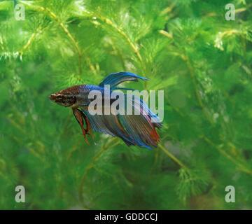 FIGHTING FISH betta splendens, ADULT - Stock Photo