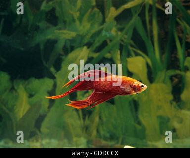 Fighting Fish, betta splendens - Stock Photo