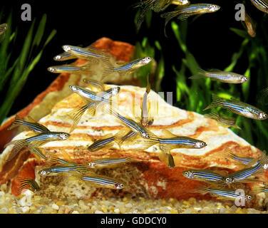 Long-Finned Zebra Fish, brachydanio rerio - Stock Photo