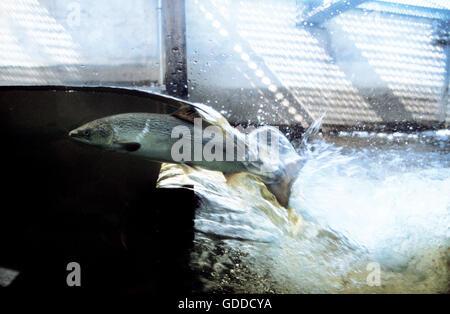 ATLANTIC SALMON salmo salar IN A FISH LADDER, QUEBEC CANADA - Stock Photo