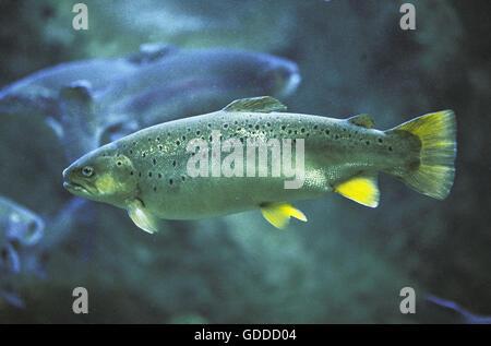 Atlantic Salmon, salmo salar, Adult, Quebec in Canada - Stock Photo