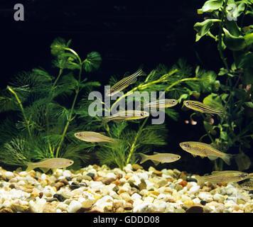 Aquarium with Pearl Danio, brachydanio albolineatus, Leopard Danio,  brachydanio frankei and Zebra Danio Fish, brachydanio - Stock Photo