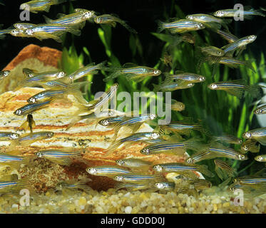 Long-Finned Zebra Fish, brachydanio rerio, Aquarium Fishes - Stock Photo