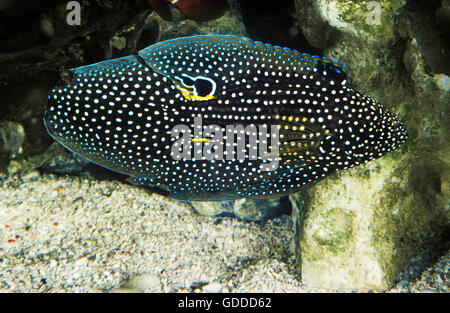COMET FISH calloplesiops altivelis, ADULT - Stock Photo