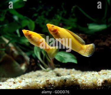 Sailfin Molly, poecilia velifera, Aquarium Fishes - Stock Photo