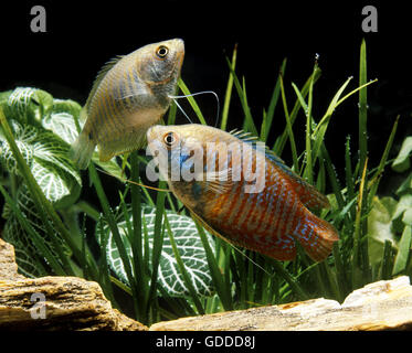 Dwarf Gourami, colisa lalia, Adults - Stock Photo