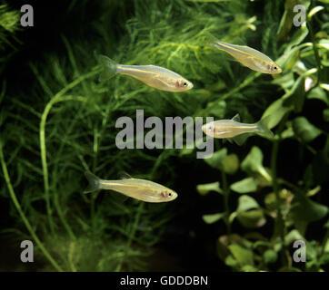 Pearl Danio, brachydanio albolineatus - Stock Photo