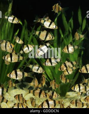 Tiger Barb, puntius tetrazona - Stock Photo