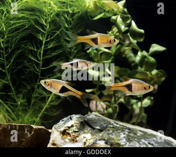 Harlequin Rasbora, rasbora heteromorpha, Aquarium Fishes - Stock Photo