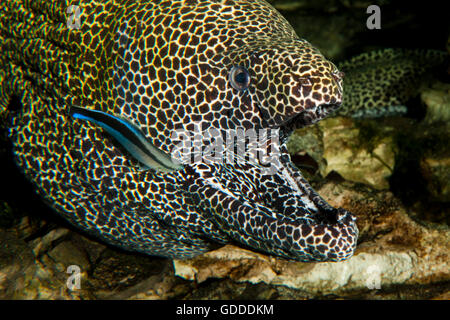 Honeycomb Moray Eel, gymnothorax favagineus, Adult with Open Mouth, with a Bluestreak Cleaner Wrasse, labroides - Stock Photo