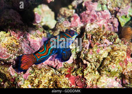 Mandarinfish, synchiropus splendidus Camouflaged in Coral - Stock Photo
