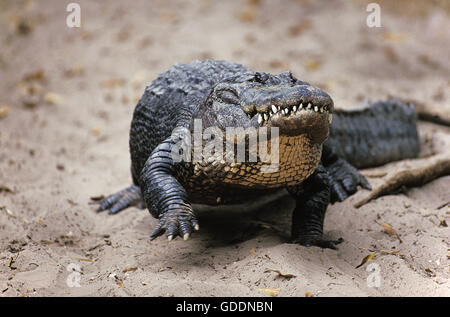 American Alligator, alligator mississipiensis - Stock Photo