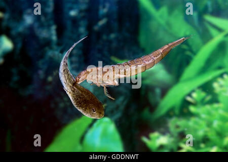 Great Diving Beetle, dytiscus marginalis, Larvae Eating Tadpole of Frog, Normandy - Stock Photo