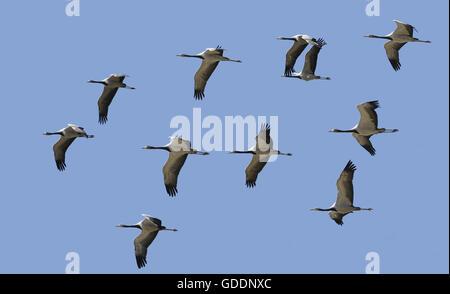 Demoiselle Crane, anthropoides virgo, Immatures in Flight - Stock Photo