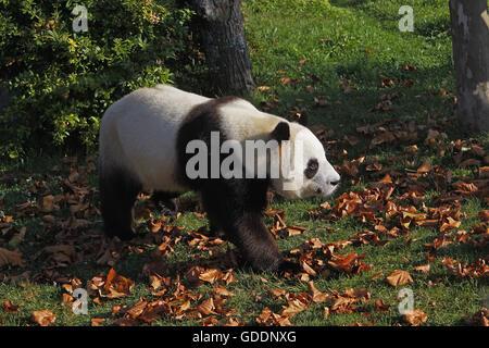 Giant Panda, ailuropoda melanoleuca, Adult - Stock Photo