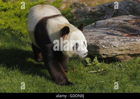 Giant Panda, ailuropoda melanoleuca, Adult walking - Stock Photo